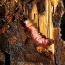 Tredreper larver